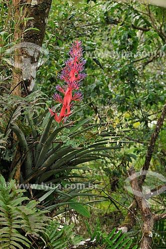 Beija-flor-de-fronte-violeta (Thalurania glaucopis) extraindo nectar de flor de bromélia na Reserva Particular do Patrimônio Natural Serra Bonita  - Camacan - Bahia (BA) - Brasil