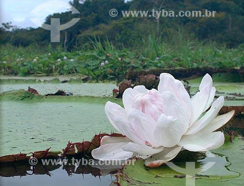 Vitória-régia (Victoria regia) em lago de várzea do rio Purus. RDS Piagaçu-Purus, Amazonas, Brasil.  - Amazonas