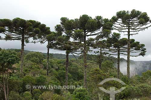 Bosque de araucárias (Araucaria angustifolia) no Parque Nacional dos Aparados da Serra, no Rio Grande do Sul, Brasil.  - Rio Grande do Sul