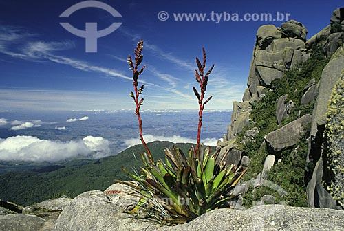 Bromélia Vriesea itatiaiae, nas Prateleiras, no planalto do Parque Nacional de Itatiaia, município de Itamonte, Estado de Minas Gerais, Brasil.  - Itamonte - Minas Gerais