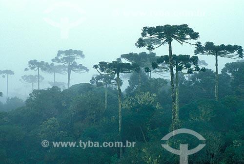 Assunto: Araucárias (Araucaria angustifolia) no Parque Nacional de Aparados da Serra / Local: Cambará do Sul - Rio Grande do Sul (RS) - Brasil / Data: 08/2012