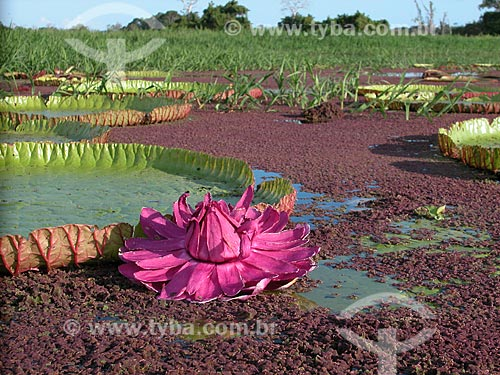 Vitória-régia (Victoria regia) florida, no lago Purema, na várzea amazônica perto de Silves, Amazonas, Brasil.  - Amazonas