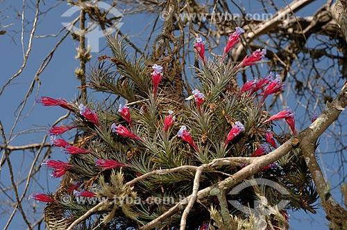 Bromélia (Tillandsia tenuifolia ), epífita num guapuruvu morto, na Fazenda Torrão de Ouro, município de Alvinlândia, São Paulo, Brasil.  - Alvinlândia - São Paulo