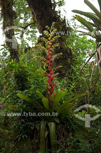 Bromélia Vriesea flammea no Parque Nacional dos Aparados da Serra, no Rio Grande do Sul, Brasil.  - Rio Grande do Sul