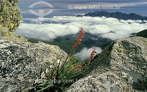 Bromélia Fernseea itatiaiae nas Prateleiras, no planalto do Parque Nacional de Itatiaia, município de Itamonte, estado do Rio de Janeiro, sudeste do Brasil.  - Itamonte - Rio de Janeiro