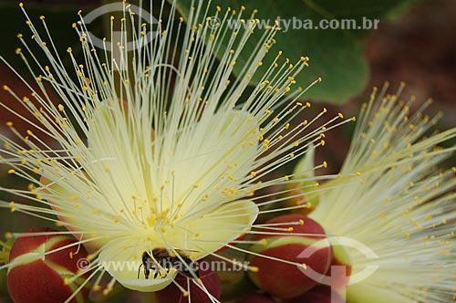 Assunto: Abelha sugando néctar da flor de pequi próxima à Brasília / Local: Brasília - Distrito Federal (DF) - Brasil / Data: 09/2005