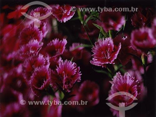 Assunto: Rosas à venda no CEAGESP - Companhia de Entrepostos e Armazéns Gerais de São Paulo / Local: São Paulo (SP) - Brasil / Data: 08/2010