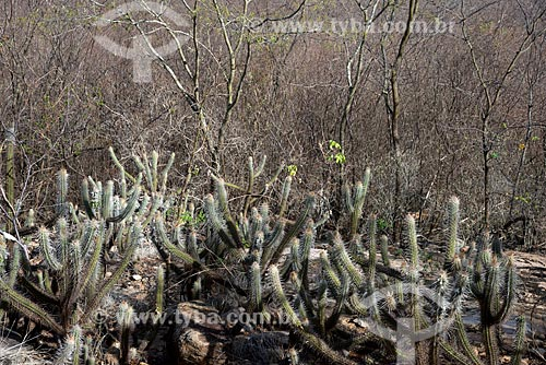 Assunto: Cacto xique-xique (Pilosocereus gounellei) / Local: Salgueiro - Pernambuco (PE) - Brasil / Data: 08/2012