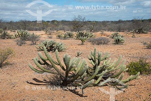 Assunto: Vegetação de caatinga no período de estiagem / Local: Belém de São Francisco - Pernambuco (PE) - Brasil / Data: 08/2012