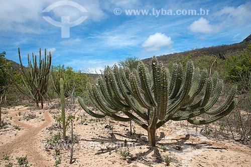 Assunto: Cactos facheiro e xique-xique vegetação característica da caatinga / Local: Buíque - Pernambuco (PE) - Brasil / Data: 08/2012