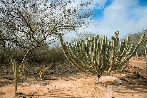 Assunto: Cacto xique-xique vegetação característica da caatinga / Local: Buíque - Pernambuco (PE) - Brasil / Data: 08/2012