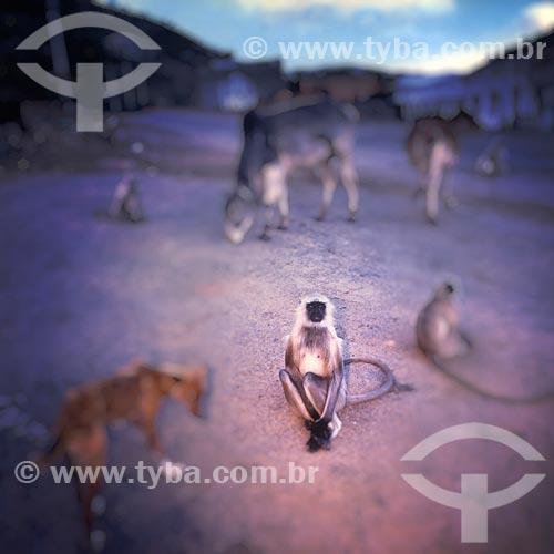 Assunto: Animais soltos em rua na Índia - para a cultura Hindu os animais tem uma alma humana / Local: Índia - Ásia / Data: 04/2007