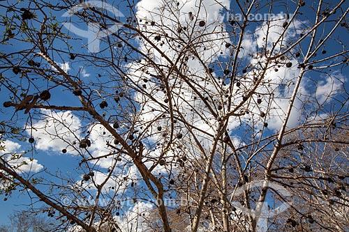 Assunto: Árvore de fruta do Conde ou Pinha na fazenda Não Me Deixes que pertenceu a Rachel de Queiroz / Local: Daniel de Queiroz - Quixadá  - Ceará (CE) - Brasil / Data: 11/2012