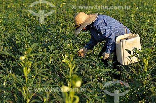 Assunto: Trabalhador rural realizando a colheita do Quiabo (Abelmoschus esculentus) / Local: Buritama - São Paulo (SP) - Brasil / Data: 10/2012