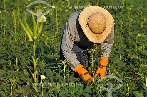 Trabalhador rural realizando a colheita do Quiabo (Abelmoschus esculentus)  - Buritama - São Paulo - Brasil