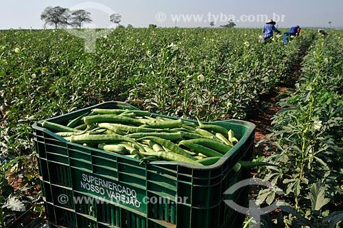 Assunto: Engradados com quiabos com trabalhadores rurais realizando a colheita ao fundo / Local: Buritama - São Paulo (SP) - Brasil / Data: 10/2012
