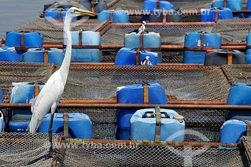 Assunto: Garça pousada tanques-rede usados na criação de Tilápias / Local: Buritama - São Paulo (SP) - Brasil / Data: 10/2012