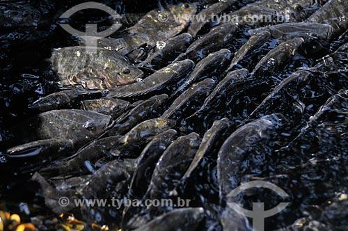 Assunto: Tilápias na fase de recria e engorda em tanque-rede / Local: Buritama - São Paulo (SP) - Brasil / Data: 10/2012