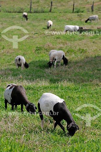 Assunto: Pasto com ovelhas mestiças - raça híbrida de Dorper com Santa Inês / Local: Neves Paulista - São Paulo (SP) - Brasil / Data: 11/2012