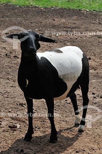 Assunto: Ovelha mestiça - raça híbrida de Dorper com Santa Inês / Local: Neves Paulista - São Paulo (SP) - Brasil / Data: 11/2012
