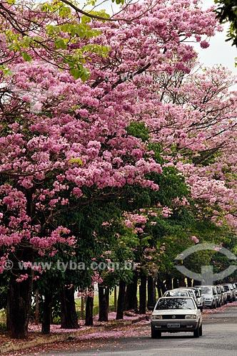 Assunto: Flores do Ipê-Rosa (Tabebuia heptaphylla) na Avenida Coronel Vítor Cândido de Souza / Local: Mirassol - São Paulo (SP) - Brasil / Data: 10/2012