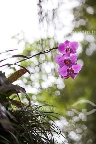 Assunto: Orquídeas Phalaenopsis roxa na Avenina Epitácio Pessoa  / Local: Ipanema - Rio de Janeiro (RJ) - Brasil / Data: 11/2012
