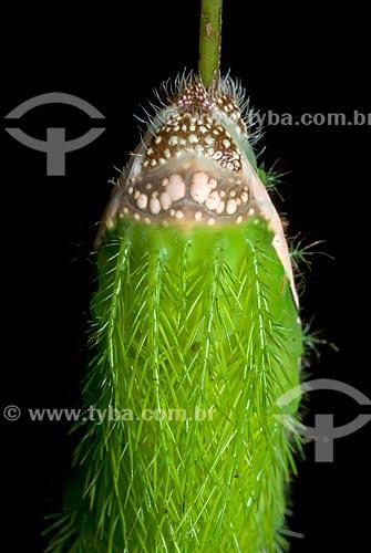 Assunto: Lagarta Taturana (Uma das fases do ciclo biológico da mariposa) / Local: Niterói - Rio de Janeiro (RJ) - Brasil / Data: 08/2011