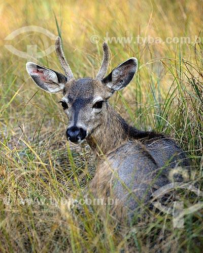 Assunto: Veado-mula (Odocoileus hemionus) no Parque Nacional de Yosemite / Local: Califórnia - Estados Unidos da América - EUA / Data: 09/2012