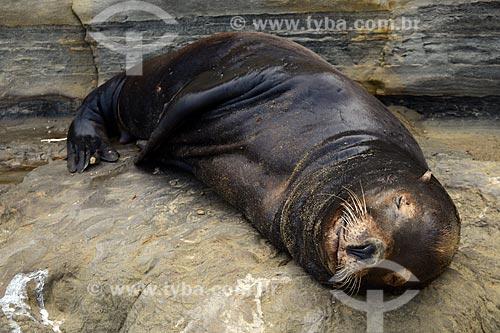 Assunto: Leão-marinho em La Jolla Cave / Local: San Diego - Califórnia - Estados Unidos da América - EUA / Data: 09/2012