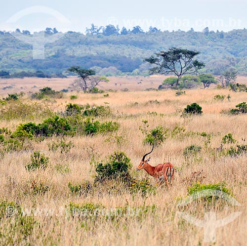 Assunto: Antílope no Parque Nacional de Nairobi / Local: Nairobi - Quênia - África / Data: 09/2010