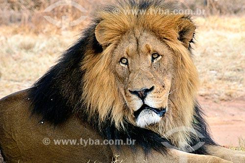 Assunto: Leão no Lion Park (Parque dos Leões) / Local: Joanesburgo - África do Sul - África / Data: 09/2010