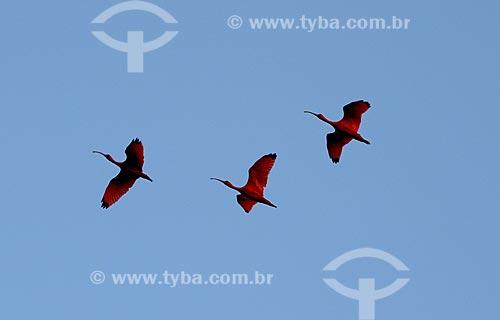 Assunto: Guarás-vermelhos (Eudocimus ruber) voando no Parque Nacional de Jericoacoara / Local: Barreirinhas - Maranhão (MA) - Brasil / Data: 10/2012
