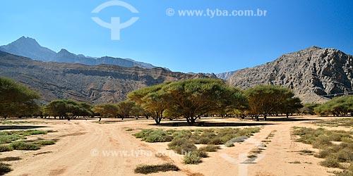 Assunto: Acacia tortilis e Coroa de espinhos - também conhecida como árvore de Jujabe (Zisiphus spina christis) na região de Wadi Sal al Aala / Local: Musandam - Omã - Ásia / Data: 02/2011
