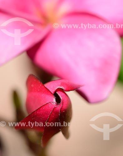 Assunto: Flor do Jasmim-Manga (Plumeria rubra) / Local: Dubai - Emirados Árabes Unidos - Ásia / Data: 05/2011