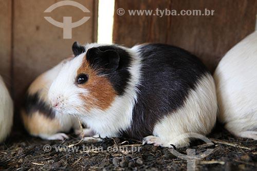 Assunto: Criação de Porquinho-da-índia / Local: Alta Floresta - Mato Grosso (MT) - Brasil / Data: 05/2012