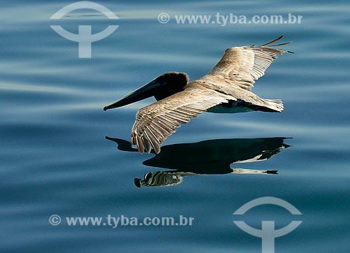 Assunto: Pelicano na Praia de Paradise Cove / Local: Malibu - Califórnia - Estados Unidos da América - América do Norte / Data: 08/2011