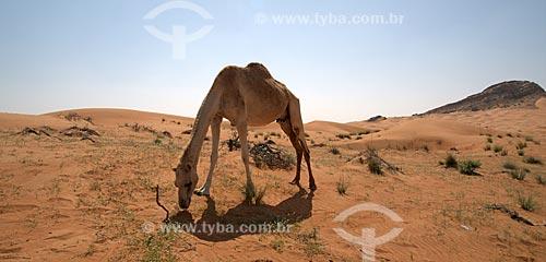 Assunto: Dromedário no deserto da região central dos Emirados Árabes - Emirados de Sharjah / Local: Emirados Árabes Unidos - Ásia / Data: 02/2010