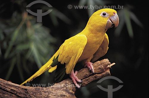 Assunto: Ararajuba (Guaruba guarouba) também conhecida como Arara amarela / Local: Rio Grande do Sul (RS) - Brasil / Data: 09/2002