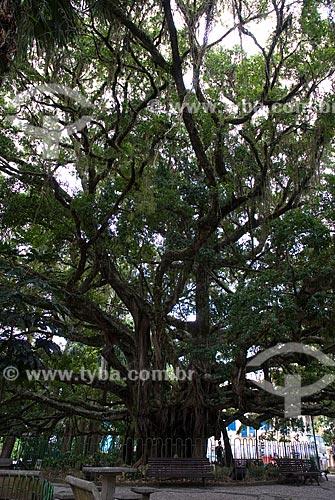 Assunto: Figueira centenária localizada na Praça XV de Novembro / Local: Florianópolis - Santa Catarina (SC) - Brasil / Data: 10/2011