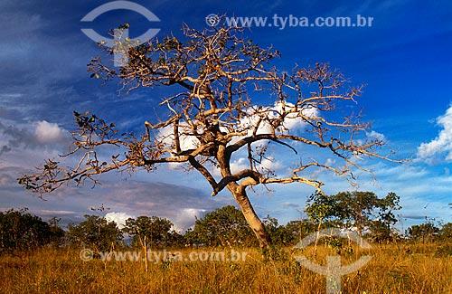 Assunto: Árvore seca no Parque Nacional Grande Sertão Veredas / Local: Chapada Gaúcha - Minas Gerais (MG) - Brasil / Data: 03/2010