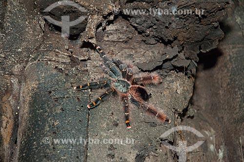 Assunto: Aranha-caranguejeira - também conhecida como Tarântula - na beira do Lago Mamirauá / Local: Amazonas (AM) - Brasil / Data: 10/2007