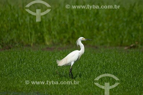 Garça-branca-pequena (Egretta thula) - também conhecida como garça-pequena ou garcinha  - Amazonas (AM) - Brasil