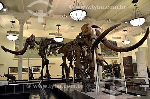 Assunto: Fóssil de um Mastodonte (Mammut) no Museu Americano de História Natural - ao fundo o fóssil de um Mamute (Mammuthus) / Local: Manhattan - Nova Iorque - Estados Unidos - América do Norte / Data: 05/2011