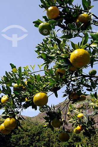 Assunto: Plantação de tangerina ponkan / Local: Distrito de Itaipava - Petrópolis - Rio de Janeiro (RJ) - Brasil / Data: 05/2012