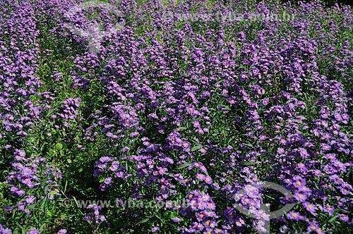 Assunto: Plantação de flor de ornamental - Àster / Local: Distrito de Itaipava - Petrópolis - Rio de Janeiro (RJ) - Brasil / Data: 05/2012