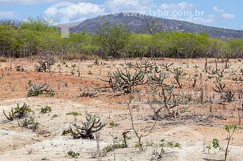Assunto: Cacto Xique-Xique (Pilosocereus gounellei) no Sertão do Pajeú / Local: Próximo à Sertânia - Pernambuco (PE) - Brasil / Data: 01/2013