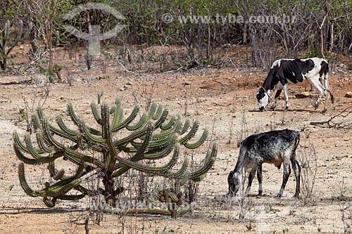 Assunto: Gado pastando ao lado do cacto Xique-Xique (Pilosocereus gounellei) no Sertão do Pajeú / Local: Próximo à Sertânia - Pernambuco (PE) - Brasil / Data: 01/2013