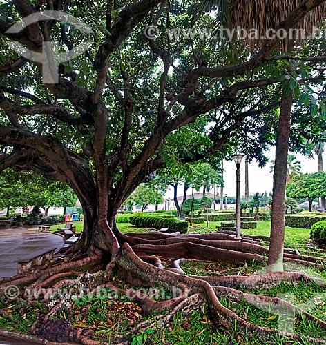 Assunto: Figueira no praça em frente a Igreja Matriz do Bom Jesus da Cana Verde / Local: Batatais - São Paulo (SP) - Brasil / Data: 12/2012