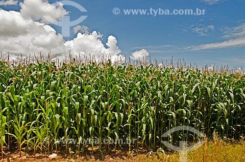 Assunto: Plantação de milho às margens da Rodovia Vital Brazil / Local: Próximo à Baependi - Minas Gerais (MG) - Brasil / Data: 01/2013