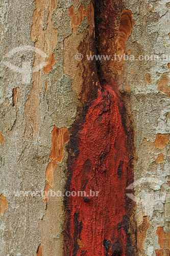Assunto: Detalhe de tronco do Pau-Brasil (Caesalpinia echinata Lam.) no Jardim Botânico do Rio de Janeiro / Local: Jardim Botânico - Rio de Janeiro (RJ) - Brasil / Data: 01/2013